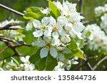 Wild Pear Wood Blossom Tree
