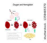 oxygen bind to hemoglobin.... | Shutterstock .eps vector #1358485370