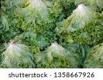 group of lettuces. romaine... | Shutterstock . vector #1358667926