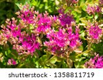 sedum telephium  often called... | Shutterstock . vector #1358811719