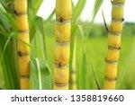 Sugar Cane Tree Closeup. Green...