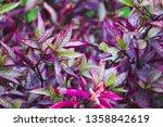 Purple Leaf Ground Cover