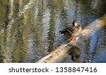 Female Mallard Duck Standing O...