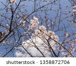 Small photo of Composition of cherry blossoms to subdivide the sky2