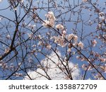 Small photo of Composition of cherry blossoms to subdivide the sky1