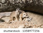 the meerkat or suricate ... | Shutterstock . vector #1358977256