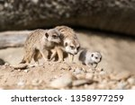 the meerkat or suricate ... | Shutterstock . vector #1358977259