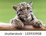 A Clouded Leopard Resting On A...