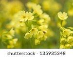 Oxlip  Primula Elatior