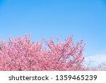 Cherry Blossom  Sakura  With...