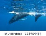 a humpback whale calf ...   Shutterstock . vector #135964454