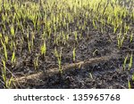 new leaves after bushfire | Shutterstock . vector #135965768