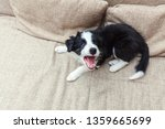 Stock photo funny portrait of cute smilling puppy dog border collie on couch new lovely member of family 1359665699