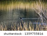 An American Coot Water Fowl...