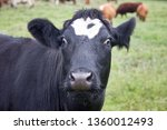 cattle in a pasture on the...   Shutterstock . vector #1360012493