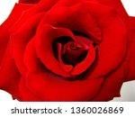 red rose flower | Shutterstock . vector #1360026869