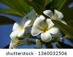 white plumeria flower | Shutterstock . vector #1360032506