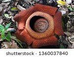 rafflesia  monster flower | Shutterstock . vector #1360037840