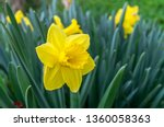 Yellow Narcissus   Daffodil On...