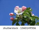 Nahaufnahme von Apfelblüten mit Knospen und Blättern vor blauem Himmel