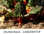 Young Rhubarb Leaves In The...