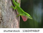 A Green Anole Resting On A Pin...