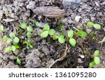young lettuce plants on... | Shutterstock . vector #1361095280