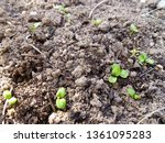 young lettuce plants on... | Shutterstock . vector #1361095283
