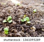 young lettuce plants on... | Shutterstock . vector #1361095289