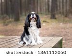 portrait of cute cavalier... | Shutterstock . vector #1361112050