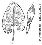 A Picture Of Pontederia Plant ...
