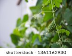 little young bitter melon or... | Shutterstock . vector #1361162930