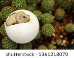 Stock photo cute portrait of baby africa spurred tortoise hatching birth of new life closeup of a small 1361218070