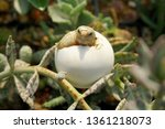 Stock photo cute portrait of baby africa spurred tortoise hatching birth of new life closeup of a small 1361218073