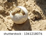 Stock photo cute portrait of baby africa spurred tortoise hatching birth of new life closeup of a small 1361218076