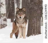 Small photo of Grey Wolf (Canis lupus) Looks Forward - captive animal