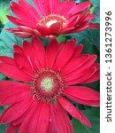 red gerbera daisies | Shutterstock . vector #1361273996
