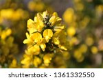 Close Up Of Flowers On A Gorse  ...