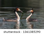pair of great crested grebe ... | Shutterstock . vector #1361385290