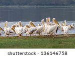 a flock of pelicans at the lake ... | Shutterstock . vector #136146758