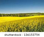 Vibrant Yellow Crop Of Canola...