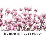 magnolia flower spring branch... | Shutterstock . vector #1361543729