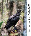 Small photo of American Black Vulture feeding on a dead alligator