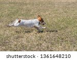 Russian Spaniel Dog In Flying...