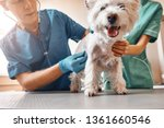 Stock photo such a cute patient a team of two professional veterinarians inspecting the health of a small 1361660546
