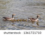 Goose Family Swimming. Two...