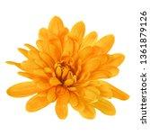 one chrysanthemum flower head... | Shutterstock . vector #1361879126