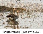 Greylag Goose  A Winter...