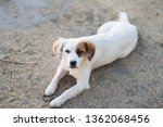 white dog lying on the ground | Shutterstock . vector #1362068456