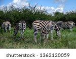 burchell s zebra herd with... | Shutterstock . vector #1362120059